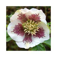 http://shop.unquadratodigiardino.it/ellebori-e-altri-fiori-invernali/752-helleborus-anemone-white-spotted-.html
