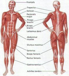 human muscular structure front | health & fitness | pinterest, Muscles