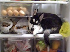 Veja este vídeo mais que fofo da Luna, Husky que encontra conforto no congelador... Deve lembrar sua terrinha congelada.