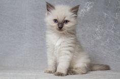 2013: Neytiri A Zwollywood Cat. 6 Weeks old Ragdoll kitten, blue colourpoint. Avatar litter.