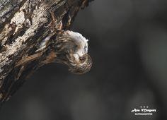https://flic.kr/p/24tcHJy | Agateador Europeo/Madrid | Short-toed Treecreeper/Spain