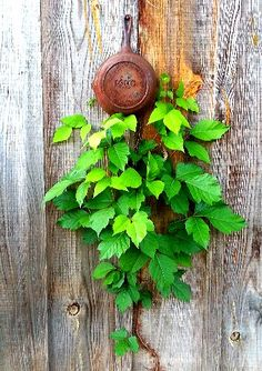 ironwood.leaves.