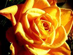 a rose like sunshine by dieffi