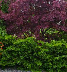 Viftelønn Acer palmatum 'Atrupurpureum'.