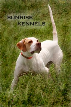 The future of the Elhew Pointer line of English Pointer will depend on the quality of all breeding programs. -- Check this awesome pet dogs advice by going to the link at the image. Pointer Puppies, Pointer Dog, Dogs And Puppies, Hunting Art, Hunting Dogs, English Pointer, Old Dogs, New Tricks, Best Dogs