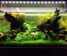 Aquaflora - This layout is being an amazing surprise for a planted...
