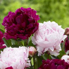 Peony Sarah Bernhardt/Felix Crousse. These heirloom peonies are two of the all time greats. Both have extra-large, fully double flowers with a heavenly fragrance.