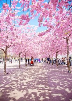 Stockholm Kungsträdgården - Every April, this little square in #Stockholms blossoms wonderfully, and all of the inhabitants gather here to smell the pink flowers, take photos and relax.