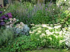 Uitbundig bloeiende hortensia en dropplanten