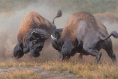 Summer Rumble by Kyle Sims Wildlife Buffalo Bison S/N Ltd Ed Canvas 2436 Buffalo Animal, Buffalo Art, Wildlife Paintings, Wildlife Art, Majestic Animals, Animals Beautiful, Animal Bufalo, Nature Animals, Animals And Pets