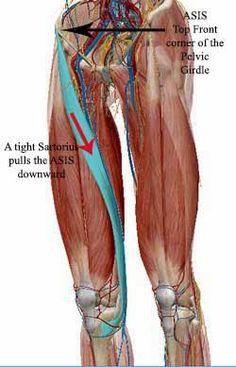 The Anatomy of Thai Yoga Massage: Sartorius muscle, Knee pain and Postural Alignment