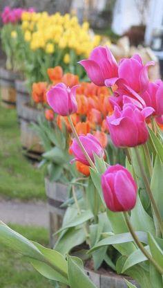 Tulips Garden, Daffodils, Home Vegetable Garden, Home And Garden, Beautiful Gardens, Beautiful Flowers, Beautiful Things, Exotic Flowers, Purple Flowers