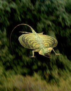 flying dragon lizard. - all bets are off when lizards can fly