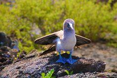 Blaufußtöpel auf den Galapagos Inseln.