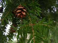 When the days darken, cold winds blow, and the damp settles into our lungs and bones, we can turn to our ancient plant allies, the evergreen and ever vital, conifers. Towering over the forest canop...