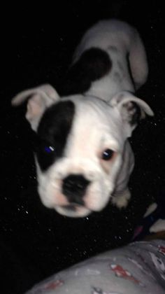 Missing bulldog puppy. Roxy is 6 months old and went missing in the Tollcross area of Glasgow yesterday. Her owners are absolutely devastated and don't know how to tell their little girl her puppy is missing. Please share to help find this adorable pup ASAP!!!Via Lost Dogs Glasgow.