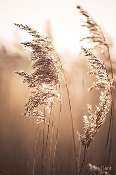 Wishes of the last light by Alice Kent Wishes of the last light by Alice Kent - Photography Subjects Brown Aesthetic, Summer Aesthetic, Pampas Grass, Belle Photo, Aesthetic Wallpapers, Nature Photography, Photography Flowers, Beach Photography, Beautiful Pictures