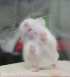 The song on the radio is this hamster's jam!!