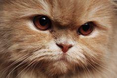 Persian Cat - Angry Cat
