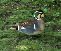 Baikal Teal (Anas formosa), also called the Bimaculate Duck or Squawk Duck, is a dabbling duck that breeds in eastern Russia and winters in East Asia.
