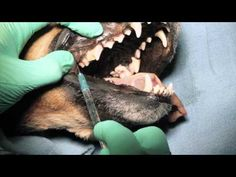 Veterinary Dentistry - Nerve Blocks for Oral Surgery for Dogs and Cats - YouTube