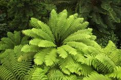 The Australian Tree Fern (Cyathea cooperi) is a large, showy fern which can make a wonderful addition the garden, whether placed in the ground or grown in a container. Description from gardeningcentral.org. I searched for this on bing.com/images
