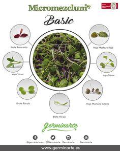 Una cuidadosa selección de brotes de diferentes sabores, brócoli, kale rojo, komatsuna, mizuna, y brotes de rábanos. Su color principalmente es verde con algún matiz morado. Red, Green, Red Cabbage, Edible Flowers, Sprouts, Salads