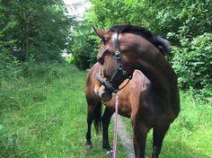 horse trainer sælges