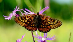 Una farfalla farfallona