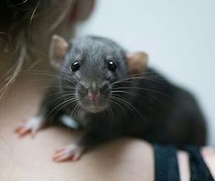 Contrary to what many people believe, pet rats are not the dirty, disease-infested creatures of folklore. Domestic rats are affectionate, clean,. Black Rat, Dumbo Rat, Funny Animals, Cute Animals, Fancy Rat, Cute Rats, Cute Mouse, Little Critter, Mundo Animal