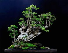 ☼♥How do you like this pretty #bonsai tree?●♣       #BonsaiInspiration