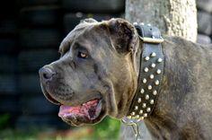 bandog American Bandogge Mastiff, Japanese Mastiff, Huge Dogs, Awesome Dogs, War Dogs, Large Dog Breeds, Police Dogs, Rottweilers, Cane Corso