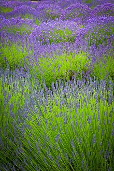 Lavender in drifts looks gorgeous.