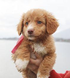 Nova Scotia Duck Tolling Retriever Pup ~ Classic Look