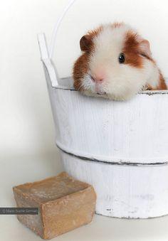 My guinea pig GINA - by Marie-Sophie Germain www.mariesophiegermain.com