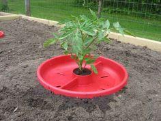 La pasión por el cultivo del tomate no tiene límite entre los aficionados a la horticultura. Cuando cualquiera inicia su primer huertecito nunca deja de plantar algunas tomateras. Son los tomates t…