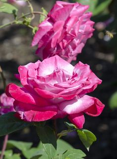 'Paradise' - Hybrid Tea Rose | Flickr - @ Clara Johnson