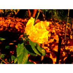 This morning … a little yellow rose in the November light … @ NEW YORK CITY - --  -  'I had embraced you … long before I hugged you.'  - Sanober Khan