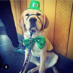 d15a64c25 37 Best Boston Terrier images | Boston terriers, Little puppies ...