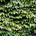 How to Kill English Ivy With Dawn Liquid Ivy Plants, Shade Plants, English Ivy Plant, Dawn, Modern Design, Landscape, Gardening, Tips, Shadow Plants