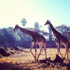 giraffes at The Pretoria Zoo