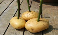 Καρφώστε τα κοτσάνια στις πατάτες και τοποθετήστε τις σε γλάστρα που προηγουμένως έχετε ρίξει χώμα και άμμο.