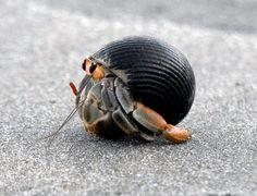 Curu Wildlife Reserve Hermit Crab
