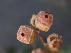 Ludwigia alternifolia pods. (Snake Eyes by Anita363, via Flickr)