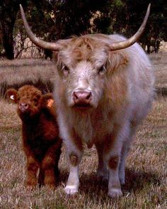 At Ennerdale we sell Scottish Highland Cattle - Cows, Bull and Calves. We are also considered one of the best breeders of Highland Cattle in the Australia market. Plush Animals, Farm Animals, Animals And Pets, Cute Animals, Miniature Cow Breeds, Miniature Cattle, Scottish Highland Cow, Scottish Highlands, Highland Cattle For Sale