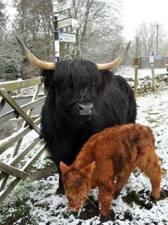 Highland cattle- a very lean beef breed as they don't tend to deposit fat within their muscles.