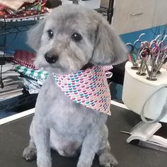 Odin #wagsmytail #doggroomer #tucsondoggrooming A well groomed dog is a well loved dog! Call us today to schedule your dog grooming appointment 520-744-7040