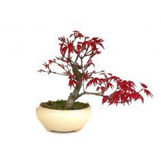 Acheter ce très beau Bonsaï Acer Palmatum Deshojo Shohin 15 cm 140305 importé du Japon chez votre Spécialiste du Bonsai en Ligne, Sankaly Bonsaï