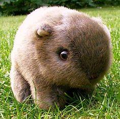 Baby wombat!!!!!!!!!!!!!!!!!!!!!!!!!! IT LOOKS LIKE A STUFFED ANIMAL