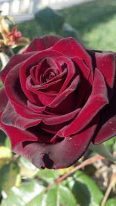 Crimson Rose...